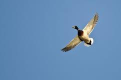Mallard Duck Flying Alone nel cielo blu Fotografie Stock Libere da Diritti