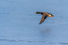 A mallard duck flying around over a frozen lake. Male duck. Also known as Anas platyrhynchos Stock Images