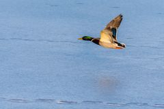 A mallard duck flying around over a frozen lake. Male duck. Also known as Anas platyrhynchos Royalty Free Stock Images