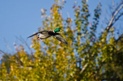 Mallard Duck Flying in Autumn. Male Mallard Duck Flying in Autumn Royalty Free Stock Photos