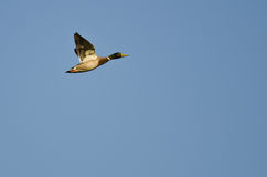 Mallard Duck Flying in a Blue Sky. Mallard Duck Flying in a Clear Blue Sky Royalty Free Stock Photo