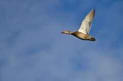 Mallard Duck Flying in a Blue Sky. Mallard Duck Flying in a Clear Blue Sky Stock Photography