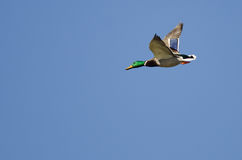Mallard Duck Flying in a Blue Sky. Mallard Duck Flying in a Clear Blue Sky Royalty Free Stock Photography
