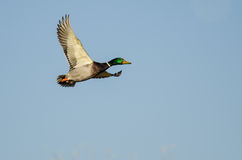 Mallard Duck Flying in a Blue Sky Royalty Free Stock Photo