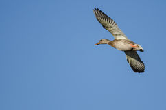 Mallard Duck Flying in a Blue Sky. Mallard Duck Flying in a Clear Blue Sky Stock Photo