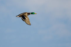 Mallard Duck Flying in a Blue Sky. Mallard Duck Flying in a Cloudy Blue Sky Stock Photo