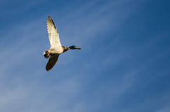 Mallard Duck Flying in a Blue Sky. Mallard Duck Flying in a Cloudy Blue Sky Royalty Free Stock Image