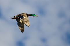 Mallard Duck Flying in a Blue Sky. Mallard Duck Flying in a Cloudy Blue Sky Stock Image