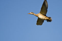 Mallard Duck Flying in a Blue Sky. Female Mallard Duck Flying in a Blue Sky Royalty Free Stock Photography