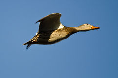 Mallard Duck Flying in a Blue Sky. Female Mallard Duck Flying in a Blue Sky Stock Image