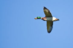 Mallard Duck Flying in a Blue Sky. Male Mallard Duck Flying in a Blue Sky Royalty Free Stock Photos