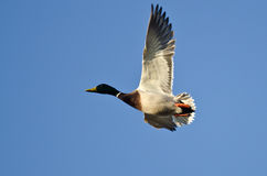 Mallard Duck Flying in a Blue Sky. Male Mallard Duck Flying in a Blue Sky Royalty Free Stock Photography
