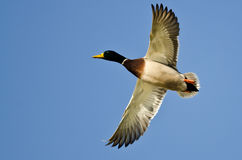 Mallard Duck Flying in a Blue Sky Stock Photography