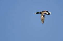 Mallard Duck Flying in a Blue Sky. Male Mallard Duck Flying in a Blue Sky Stock Image