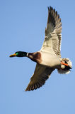 Mallard Duck Flying in a Blue Sky. Male Mallard Duck Flying in a Blue Sky Royalty Free Stock Image