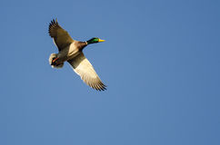 Mallard Duck Flying in a Blue Sky. Male Mallard Duck Flying in a Blue Sky Stock Images