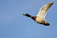Mallard Duck Flying in a Blue Sky. Male Mallard Duck Flying in a Clear Blue Sky Royalty Free Stock Images