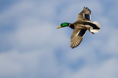 Mallard Duck Flying in a Cloudy Blue Sky. Male Mallard Duck Flying in a Cloudy Blue Sky Stock Photos