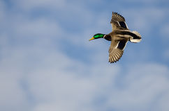 Mallard Duck Flying in a Cloudy Blue Sky. Male Mallard Duck Flying in a Cloudy Blue Sky Royalty Free Stock Photos