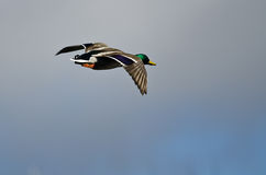 Mallard Duck Flying in a Cloudy Sky. Male Mallard Duck Flying in a Cloudy Sky Royalty Free Stock Image