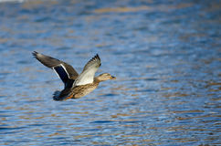 Mallard Duck Flying Low Over the Blue Water Royalty Free Stock Images