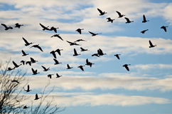Mallard Duck Flying Low Over the River. Large Flock of Geese Silhouetted in the Cloudy Blue Sky Royalty Free Stock Photography