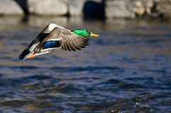 Mallard Duck Flying Low Over the River. Male Mallard Duck Flying Low Over the River Stock Images