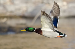 Mallard Duck Flying Low Over the River. Male Mallard Duck Flying Low Over the River Stock Image