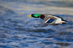 Mallard Duck Flying Low Over the River. Male Mallard Duck Flying Low Over the River Royalty Free Stock Photography