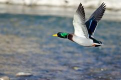 Mallard Duck Flying Low Over the River Stock Images