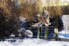 Mallard duck flying. In the cityscape in winter Royalty Free Stock Image