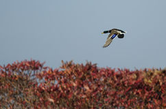 Mallard Duck Flying Over the Autumn Countryside Royalty Free Stock Photos