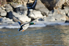 Mallard Duck Flying Over the Frozen Winter River. Male Mallard Duck Flying Over the Frozen Winter River Royalty Free Stock Photography