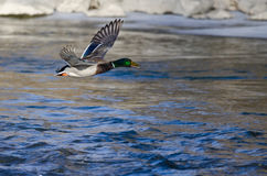 Mallard Duck Flying Over the Frozen Winter River. Male Mallard Duck Flying Over the Frozen Winter River Royalty Free Stock Photo