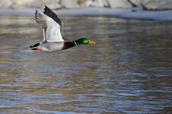 Mallard Duck Flying Over the Frozen Winter River. Male Mallard Duck Flying Over the Frozen Winter River Stock Photography