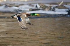 Mallard Duck Flying Over il fiume congelato di inverno immagini stock libere da diritti