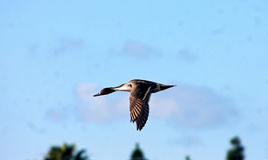 Mallard, Duck flying over the sky. One wild duck/Mallard is flying over the sky Royalty Free Stock Photography
