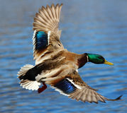 Male Mallard Duck Flying Over Water. A male mallard duck flying above the water Royalty Free Stock Photo