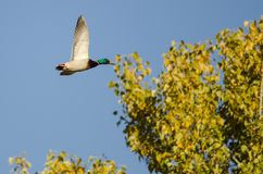 Mallard Duck Flying Past Autumn Tree photographie stock