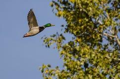 Mallard Duck Flying Past Autumn Tree images libres de droits