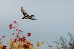 Mallard Duck Flying Past Autumn Trees photo stock