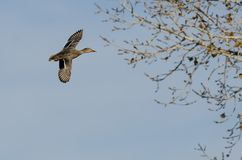 Mallard Duck Flying Past Autumn Trees image libre de droits