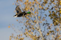 Mallard Duck Flying Past the Autumn Trees Stock Images