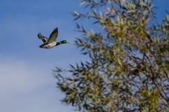 Mallard Duck Flying Past the Autumn Trees. Male Mallard Duck Flying Past the Autumn Trees Royalty Free Stock Photos