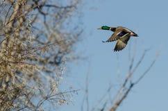 Mallard Duck Flying Past the Autumn Trees. Male Mallard Duck Flying Past the Autumn Trees Royalty Free Stock Photo