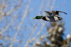 Mallard Duck Flying Past la neige a couvert l'arbre d'hiver photos libres de droits