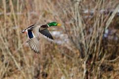 Mallard Duck Flying Past les bois d'hiver remplis par neige photographie stock
