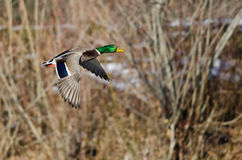 Mallard Duck Flying Past the Snow Filled Winter Woods Stock Photography