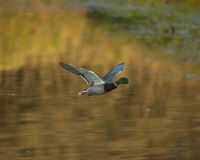 Mallard Duck Flying. With reflections in the background Stock Images