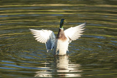 Mallard Duck Flying Royalty Free Stock Photography
